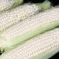 厂家批发献丰牌甜糯玉米种子 甜糯1:3 甜粘香嫩 口感好 鲜食玉米种子 优质甜加糯玉米种子 诚招各地代理商