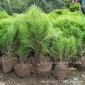 江苏苗圃洒金柏苗 洒金柏小苗 庭院绿化彩色绿化苗木 量大优惠