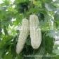 特色植物蔬菜种子批发珍珠瓜油苦瓜进口白苦瓜种子原包装10粒